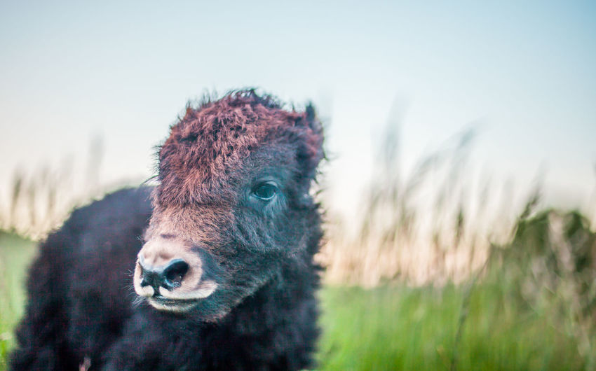 Portrait of calf on field against clear sky