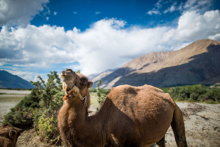 Camel in Nubra Valle, Ladakh, India Animal Themes Beauty In Nature Cloud - Sky Day Domestic Animals Field Focus On Foreground Landscape Livestock Llama Mammal Mountain Mountain Range Nature No People One Animal Outdoors Scenics Sky