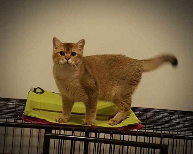 Pets Portrait Domestic Cat Feline Animal Themes