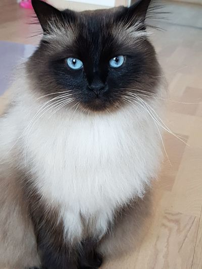 EyeEmNewHere Love ♥ Mishka Blue Eyes Nature EyeEm Selects Domestic Cat Pets Feline Black Color Animal Hair Domestic Animals Whisker One Animal Portrait No People Looking At Camera Indoors  Close-up Animal Themes Mammal Day