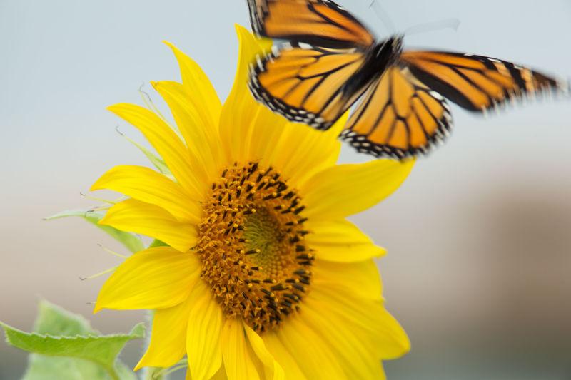 Monarch takes flight Sunflower Rural Scene Flower Petal Beauty In Nature Butterfly Wings Motion Blur Flower Insect Nature Beauty In Nature Summer Monarch Butterfly Butterfly Wings Butterfly Garden