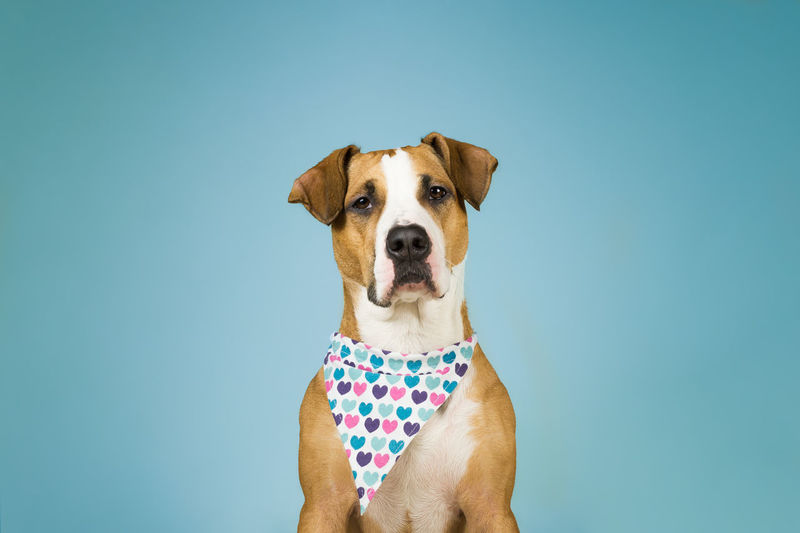 Canine Dog Domestic Animals One Animal Mammal Pets Domestic Looking At Camera Portrait Blue Blue Background Vertebrate Spotted Front View Indoors  People Copy Space Polka Dot Jack Russell Terrier Hearts Valentine's Day  Bandana