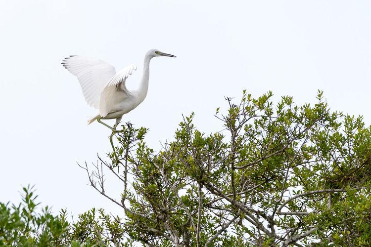 Great Egret Branch Treetop Egret Freshwater Bird