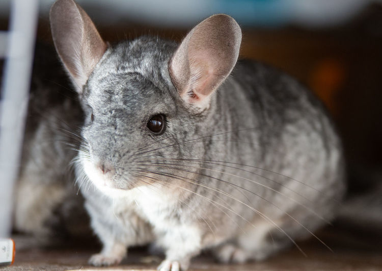 Chinchilla Mammal One Animal Pets Domestic Focus On Foreground Close-up Domestic Animals No People Animal Wildlife Whisker Animal Animal Themes Rabbit - Animal Rodent Vertebrate Indoors  Animal Ear Animal Body Part Portrait Cute Animal Eye Animal Head