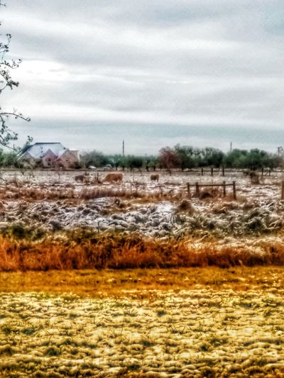 Winter Morning Snowy Day Snowy Morning Mypointofview Robstown Texas Snow Wintertime Texas Landscape SnowOfEyeem Texas Snow SnowyField Fieldscape Cows In A Field Farm Life