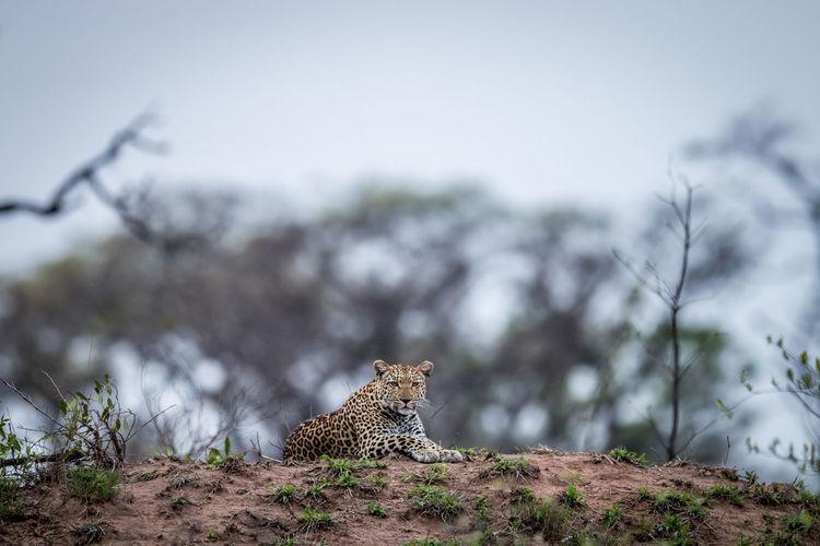 Leopard On Field Against Sky