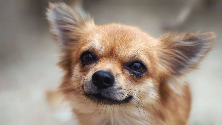 Closeup chihuahua dog face Mammal Home Nature Short Friend Playful Little Small Brown Cute Looking Smiling Pets Portrait Dog Looking At Camera Cute Puppy Close-up Chihuahua - Dog Animal Eye Eye HEAD Animal Head  Nose Animal Nose Snout Animal Hair Ear Pomeranian