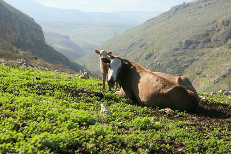 Cows in an Israeli landscape Mammal Animal Themes Domestic Animal Domestic Animals Pets Livestock Mountain Vertebrate Landscape Nature One Animal Plant Land Cattle Green Color Environment Day Grass No People Herbivorous Outdoors