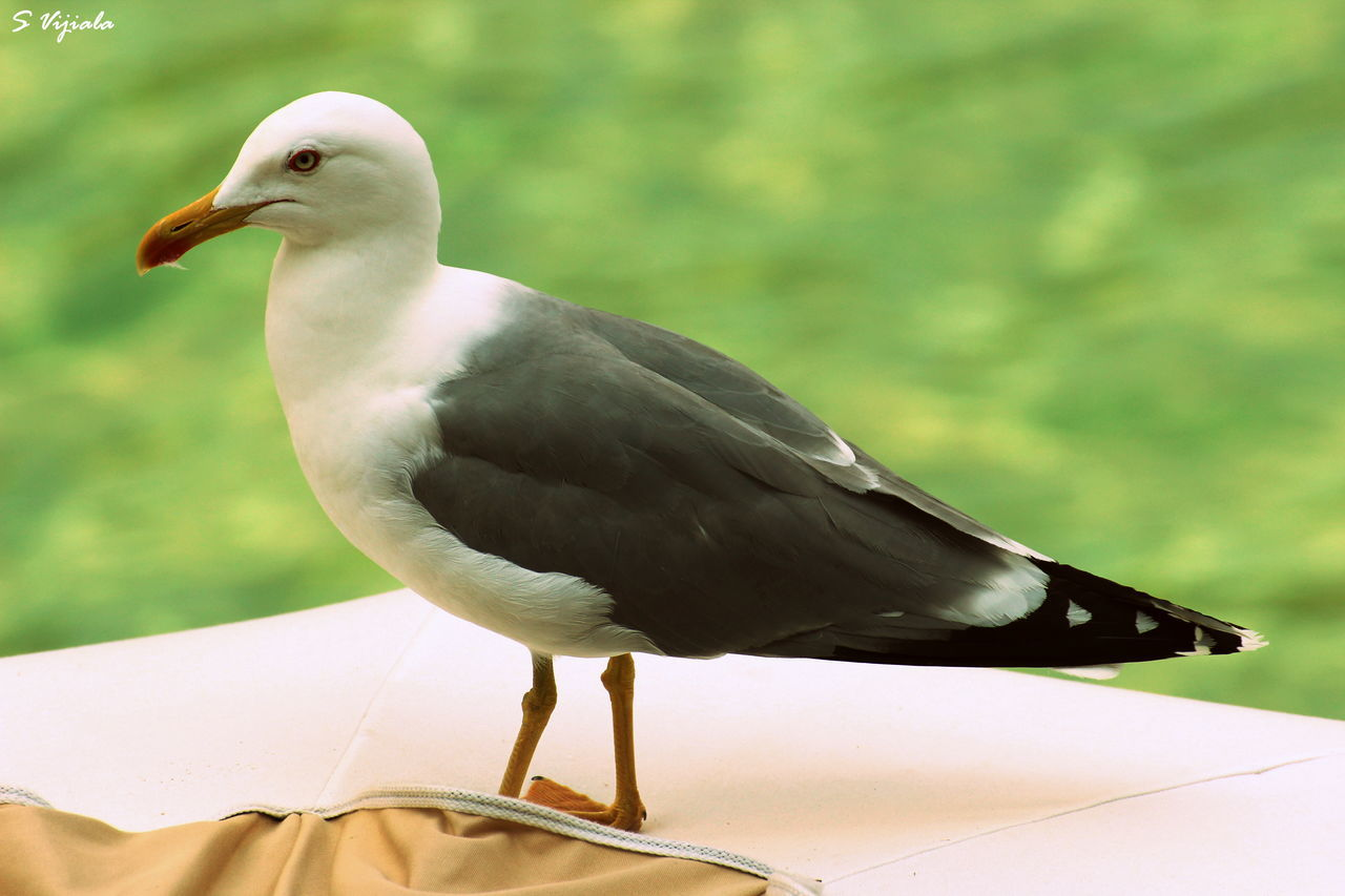 bird, one animal, animal themes, animals in the wild, animal wildlife, focus on foreground, day, close-up, perching, nature, beak, no people, outdoors, seagull