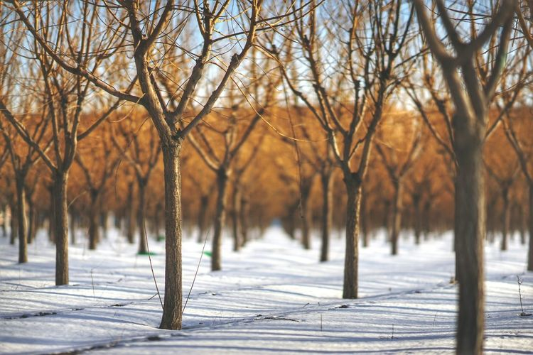 Bare Trees In Snow During Winter