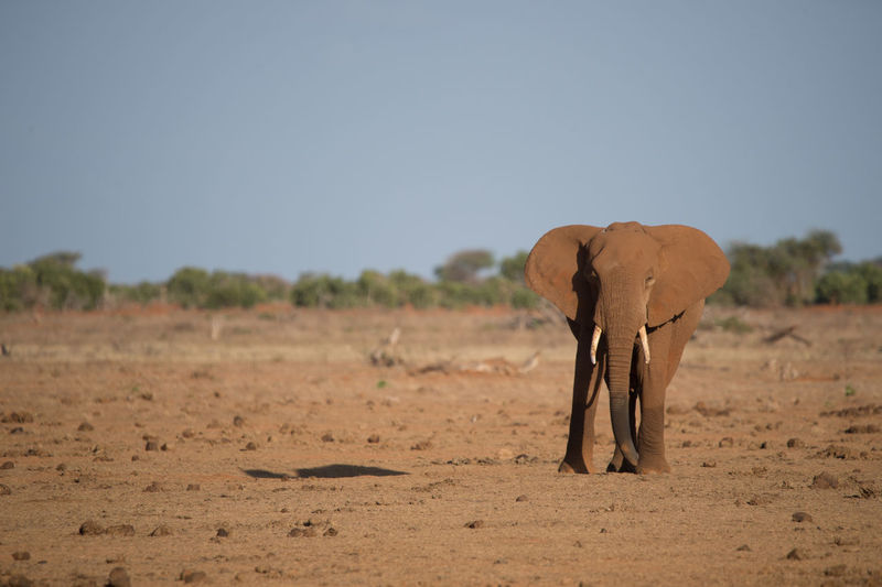 View Of Elephant On Dirt Field