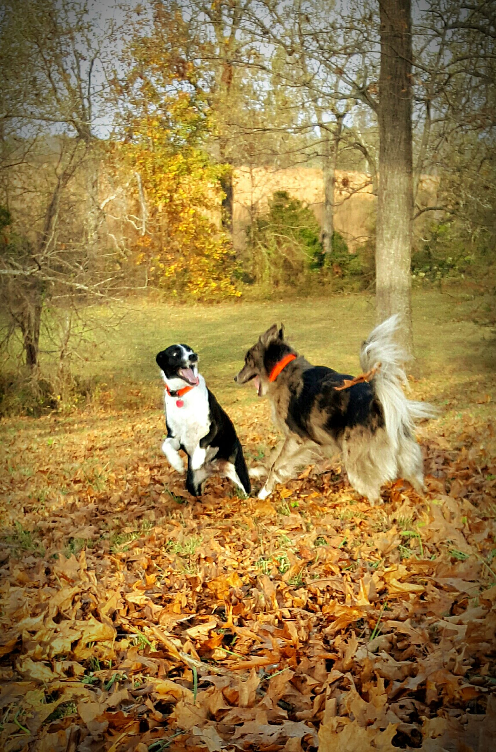 pets, dog, domestic animals, animal themes, nature, tree, no people, mammal, outdoors, togetherness, day, beauty in nature, border collie, pet clothing, cavalier king charles spaniel