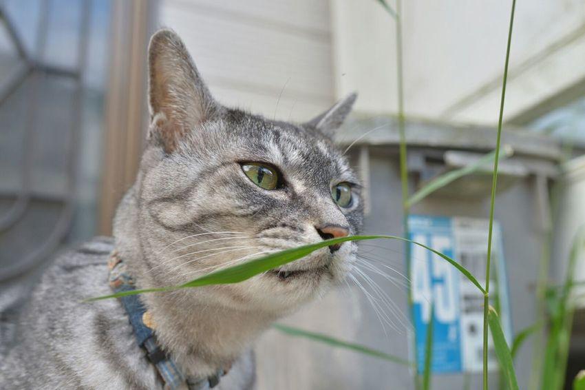 いい草にゃ Dandy Cat KAWAII Playing With The Animals Mycat ダンディ