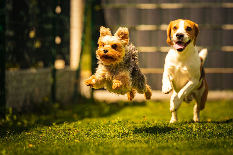 Cute yorkshire terrier dog and beagle dog chese each other in backyard. running and jumping with toy