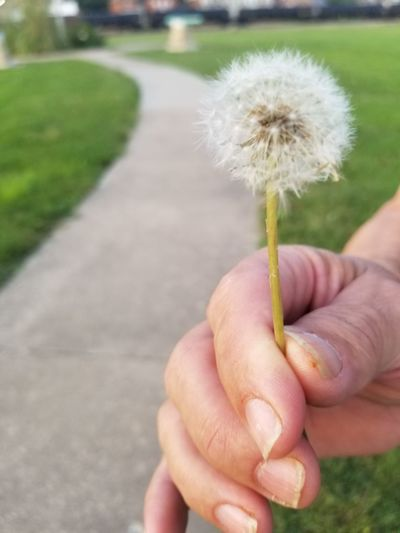 Human Hand Flower Holding Flower Head Close-up Dandelion Dandelion Seed Single Flower Uncultivated Seed Softness Stem Growing Flora Wildflower Plant Life Blooming