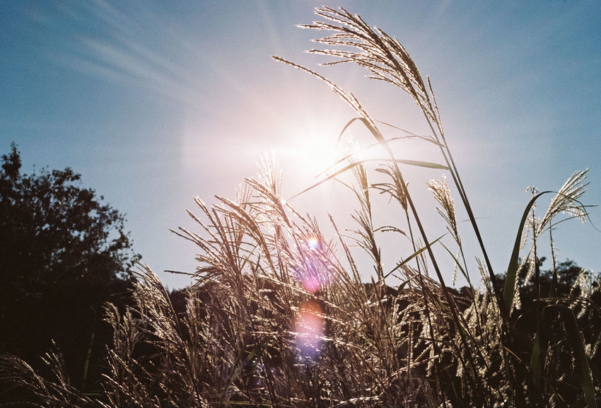35mm 35mm Film Analog Analogue Photography Beauty In Nature Blue Sky Field Film Film Photography Filmisnotdead Filmphotography Lens Flare Light Nature Nature Photography Outdoor Photography Outdoors Plant Sky Sun Sunlight Sunset Sunshine Weed