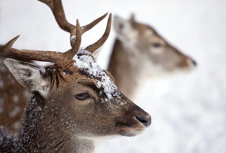 Close-up of reindeers during winter