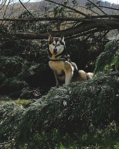 Husky Husky ♡ Nature Huskyphotography Dogs Pets Dog Portrait Domestic Cat Looking At Camera Feline Siberian Husky Sled Dog Carnivora Canine Wolf