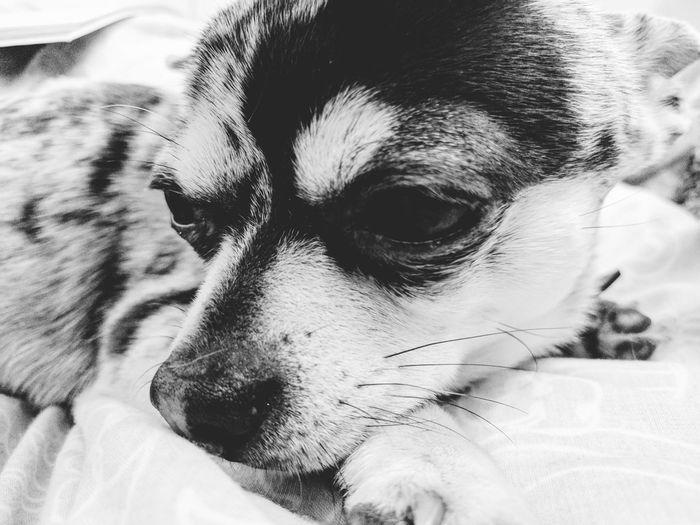Pets Domestic Animals Dog Close-up Chihuahua Merle Merlechihuahua