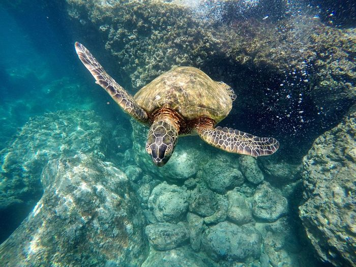 Snorkeling Hawaii Oahu Water Sea Reptile Animals In The Wild Animal Wildlife Animal Themes Animal Swimming Underwater Sea Life UnderSea Sea Turtle Turtle One Animal No People Nature Marine Vertebrate Day Outdoors Go Higher Summer Exploratorium Focus On The Story The Great Outdoors - 2018 EyeEm Awards