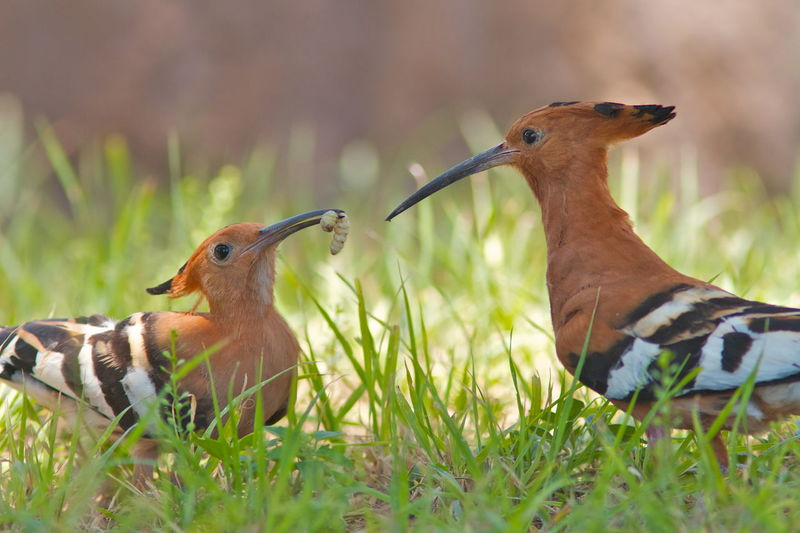 Close-Up Of Hoopoes On Field