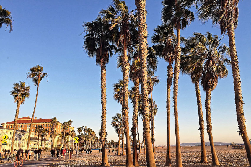 Venice Beach Ancient Civilization Architecture Beach Beauty In Nature Blue Built Structure Clear Sky Day Growth Large Group Of People Low Angle View Nature Outdoors Palm Tree People Real People Scenics Sky Tranquil Scene Travel Destinations Tree Tree Trunk Vacations Water