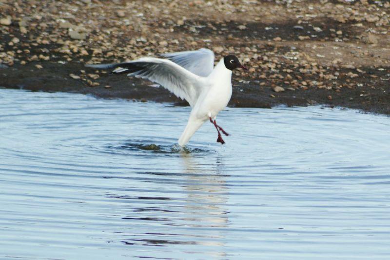 Black-Headed Gull Flying Over Pond
