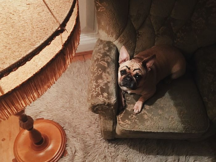 eyebrows on point Animal Themes Domestic Animals One Animal Pets Mammal Dog Vertebrate Looking At Camera Wall - Building Feature Zoology Animal Loyalty Domestic Cat Day Hardwood Floor Pampered Pets At Home Pug Franchbulldog One Dog One Animal FUNNY ANIMALS Relaxing At Home