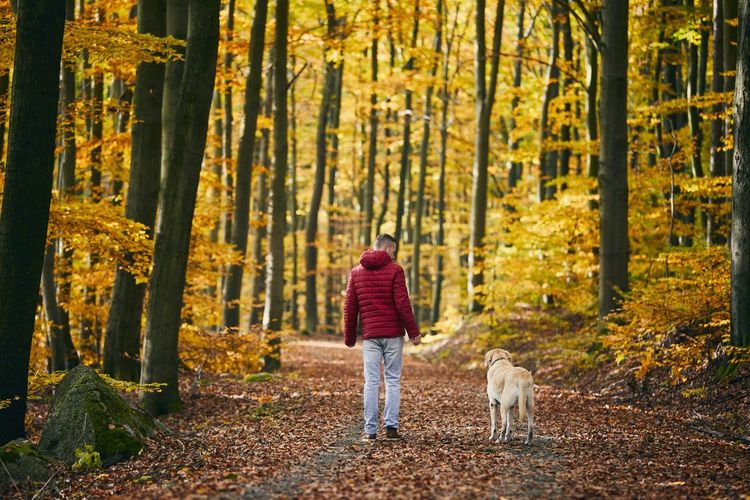Man with dog in autumn nature. pet owner is walking with his labrador retriever in colorful forest.
