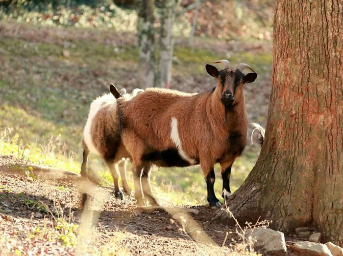 Fainting Goats Appalachian Mountains No Edit/no Filter Just Goats Nature Nature_collection Animals Animal Photography Showcase: December Hillside Tricolor Tricolor Goat