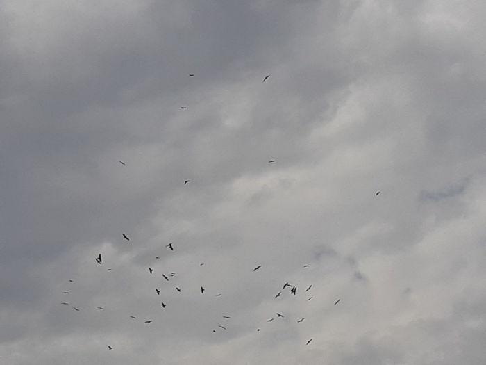 migratory birds Bird Flamingo Flying Vulture Bird Of Prey Colony Flock Of Birds Spread Wings Silhouette Mid-air