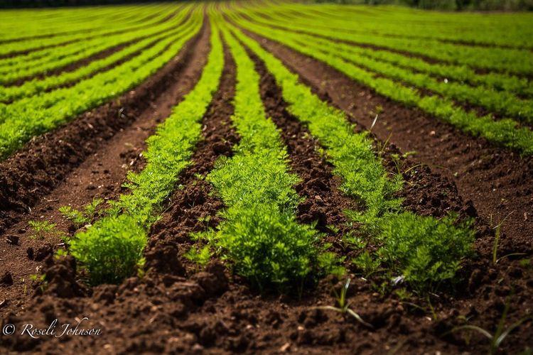 Carrots!! Field