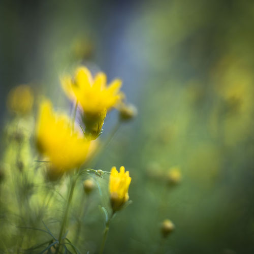 Russian Lens Helios 58mm/2 Bokeh Garden Green And Yellow Meadow Nature Orchard Square Format Summertime Yellow Flowers