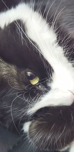 Pets Portrait Feline Domestic Cat Whisker Looking At Camera Close-up