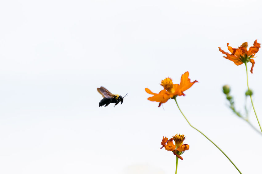 Animal Themes Animals In The Wild Beauty In Nature Bee Buzzing Clear Sky Close-up Day Flower Flower Head Flying Fragility Freshness Growth Nature No People Outdoors Petal Sky 蜂