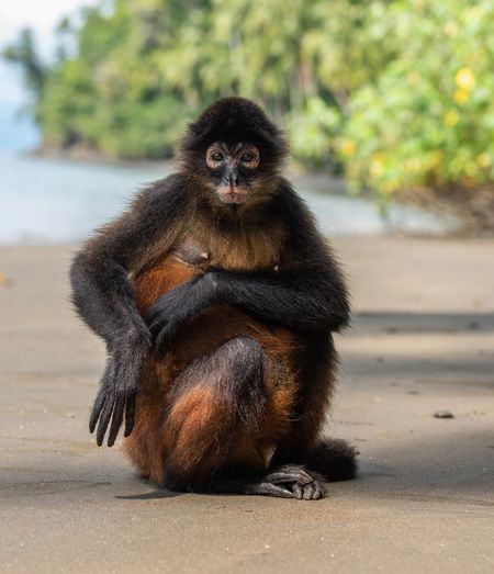 Spider monkey on the beach Beach Costa Rica Monkey Spider Primate Animals In The Wild Animal Wildlife One Animal Mammal Focus On Foreground Day Nature Vertebrate Sitting No People Looking At Camera Land Portrait Outdoors Sunlight Animal Family