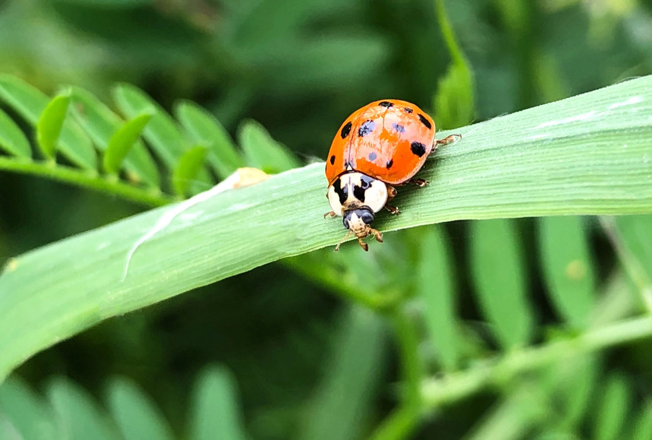 insect, invertebrate, animal wildlife, animals in the wild, animal themes, animal, one animal, ladybug, beetle, focus on foreground, plant, close-up, green color, plant part, leaf, day, nature, spotted, no people, growth, outdoors, blade of grass, small