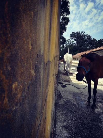 Horse Domestic Animals Animal Themes Sky Portugal Lusitano P10lite Horse Photography  Horse Life The Photojournalist - 2017 EyeEm Awards The Great Outdoors - 2017 EyeEm Awards