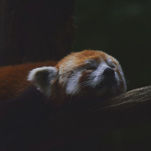 Close-up of red panda resting on branch