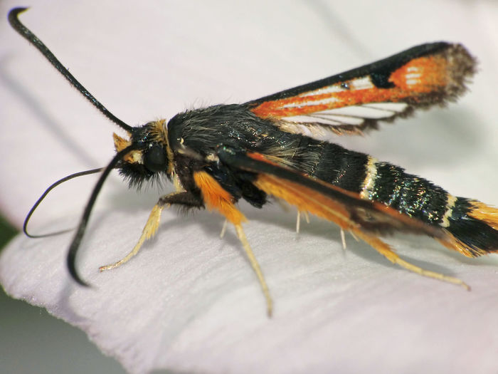 Pyropteron Chrysidiforme - Serchio River Animal Themes Animal Wildlife Animals In The Wild Arthropoda Butterflies And Moths Close-up Fiery Clearwing Hexapoda Insect Insect Close-up Insect Macro  Insecta Lepidoptera Moth Moth On Flower Pyropteron Pyropteron Chrysidiforme Sesiidae