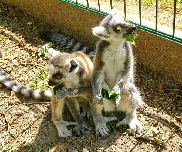 Lemur Brothers Zoochleby Animals EyeEm Animalphotography
