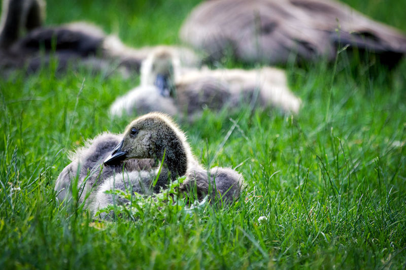 Baby Gosling Family Gosling, Canada Goose, Resting, Park, Grass Hanging Out HEAD No People S Wildlife Zoology