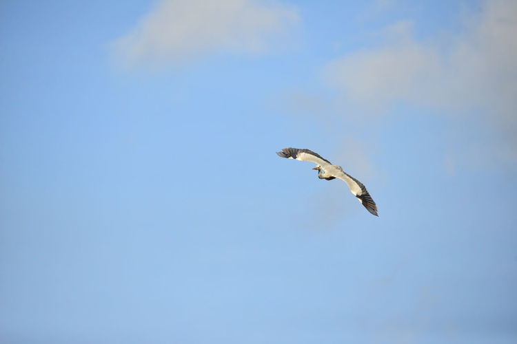 Animal Animal Themes Animal Wildlife Animals In The Wild Beauty In Nature Bird Blue Copy Space Day Flying Low Angle View Mid-air Motion Nature No People One Animal Outdoors Seagull Sky Spread Wings Vertebrate