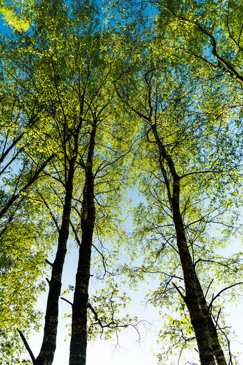Autumn Beauty In Nature Branch Change Clear Sky Day Growth Low Angle View Nature No People Outdoors Plant Scenics - Nature Sky Sunlight Tall - High Tranquility Tree Tree Canopy  Tree Trunk Trunk