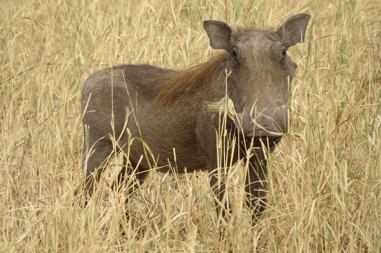 Grass One Animal Field Mammal Animals In The Wild Warthog Pumba