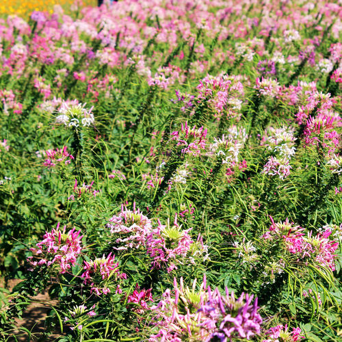 Beautiful pink flower blooming. Field Flower Textures Flowers,Plants & Garden Grass Green Plant Background Beauty In Nature Day Field Flower Flower Blooming Flower Collection Flower Photography Fragility Freshness Growth Nature No People Outdoors Pink Color Pink Flower Plant Summer