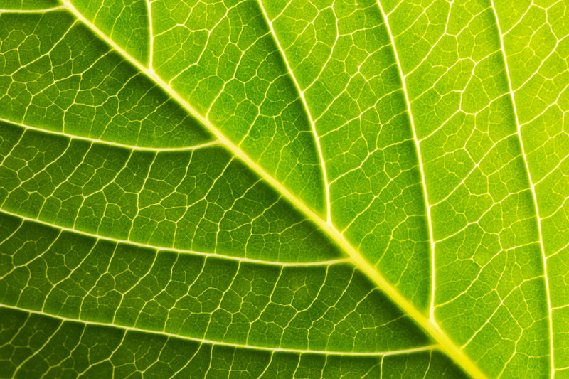 green leaf texture background Green Macro Photography Plant Vein Abstract Backgrounds Botany Close-up Day Detail Ecology Enviornmental Flora Freshness Full Frame Green Color Grow Healthy Leaf Macro Nature No People Organic Pattern Textured