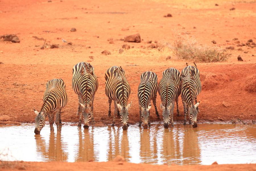 Zebra's in Tsavo West NP, Kenya Animal In Wild Animal Instincts Animal Markings Animal Wildlife Mammal National Parks Kenya Natural Pattern Red Soil Striped Travel Destinations Kenya Tsavo West Winter Zebra Zebra Drinking