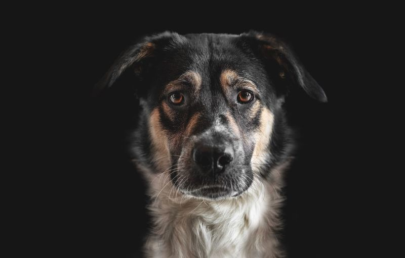 Animal Animal Body Part Animal Eye Animal Head  Animal Themes Black Background Canine Close-up Dog Domestic Domestic Animals Indoors  Looking Looking At Camera Mammal No People One Animal Pets Portrait Purebred Dog Studio Shot Vertebrate