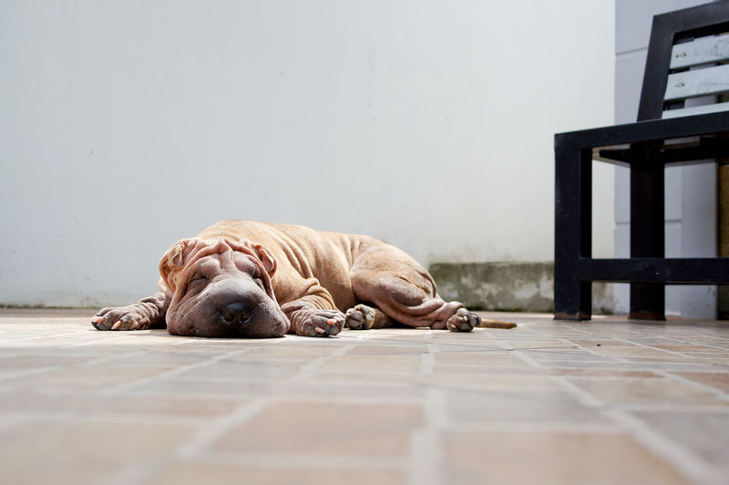 Animal Brown Dog Chinese Sharpei Dog Domestic Animals Floor Laziness Lying Down Mammal No People One Animal Pets Relaxation Resting Sharpei Sleeping Solitude Surface Level